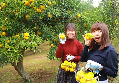 黄ゆず収穫×丸ごとゆずカップのゆずみつデザートつくり