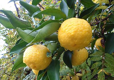 黄ゆず収穫&ゆずシロップづくり♪